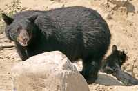 Black Bear, British Columbia, Canada CM11-33