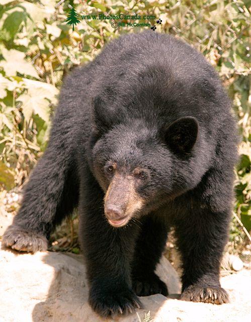 Black Bear, British Columbia, Canada CM11-32