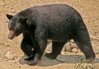 Black Bear, British Columbia, Canada CM11-31