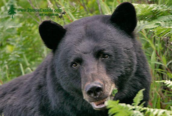 Black Bear CM11-002