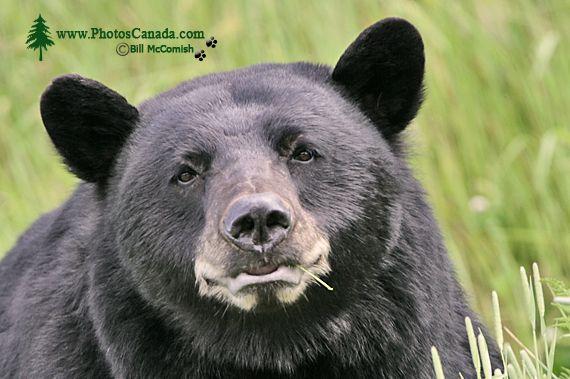 Black Bear CM11-001
