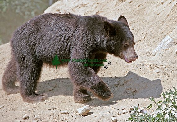 Black Bear Cub, British Columbia, Canada CM11-30
