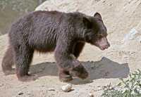 Black Bear Cub, British Columbia, Canada CM11-30