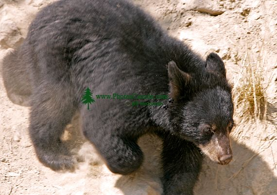 Black Bear Cub, British Columbia, Canada CM11-29