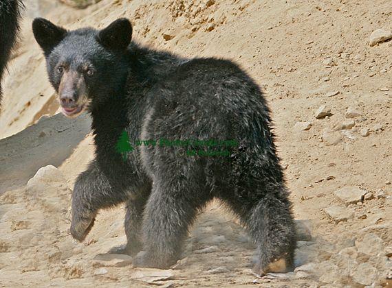 Black Bear Cub, British Columbia, Canada CM11-28