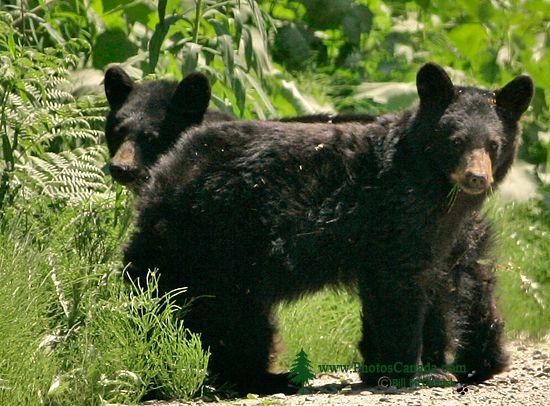 Black Bear Cubs, British Columbia, Canada CM11-59