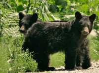 Black Bear Cubs, British Columbia, Canada CM11-59