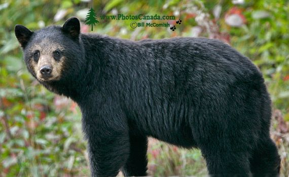 Black Mother Bear, British Columbia, Canada CM11-58