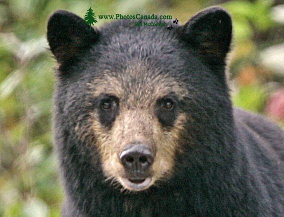 Black Mother Bear, British Columbia, Canada CM11-57
