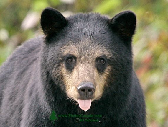 Black Mother Bear, British Columbia, Canada CM11-56