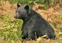 Black Bear Resting, British Columbia, Canada CM11-55