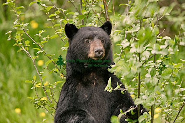 Black Bear Standing,(June 2008) Nass Valley, British Columbia, Canada CM11-23