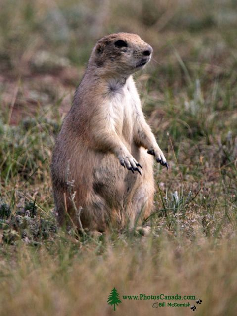 Black Tail Prairie Dog, Grasslands National Park, Saskatchewan, Canada CMX-002