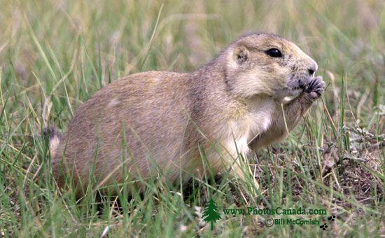 Black Tail Prairie Dog, Grasslands National Park, Saskatchewan, Canada CMX-005