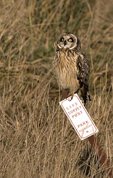 Brown Owl, Boundary Bay, British Columbia, Canada CM11-001