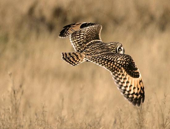 Brown Owl, Boundary Bay, British Columbia, Canada CM11-002