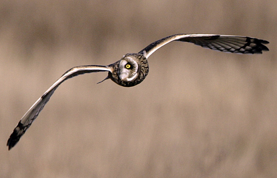 Brown Owl, Boundary Bay, British Columbia, Canada CM11-005