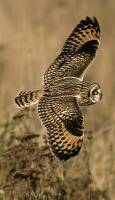 Highlight for Album: Brown Owls, Boundary Bay, British Columbia, Canada - Canadian Wildlife Stock Photos