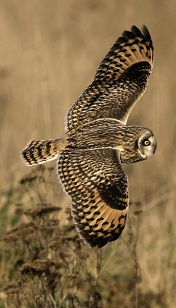 Brown Owl, Boundary Bay, British Columbia, Canada CM11-007