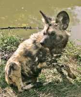 African Hunting Dog, Calgary Zoo, Alberta CM11-22