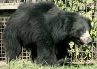 Black Sloth Bear, Calgary Zoo, Alberta CM11-23