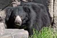 Black Sloth Bear, Calgary Zoo, Alberta CM11-24