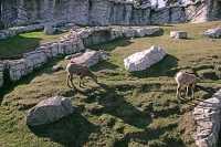 Big Horn Sheep, Calgary Zoo, Alberta CM11-05