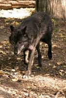 Black Wolf, Calgary Zoo, Alberta CM11-17