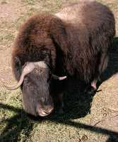 Bison, Calgary Zoo, Alberta CM11-12