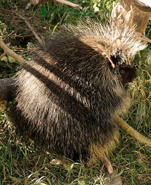 Porcubine, Calgary Zoo, Alberta CM11-03