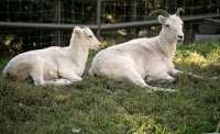 Rocky Mountain Goat and Lamb, Calgary Zoo, Alberta CM11-10