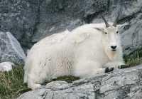 Rocky Mountain Goat, Calgary Zoo, Alberta CM11-07