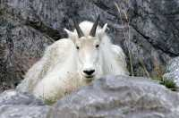 Rocky Mountain Goat, Calgary Zoo, Alberta CM11-08