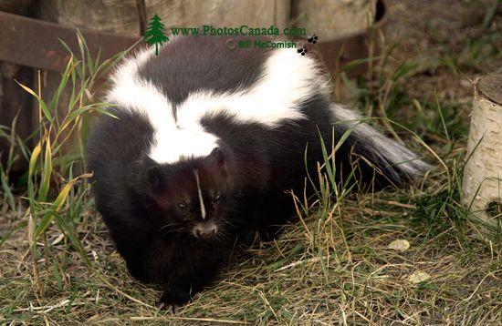 Skunk, Calgary Zoo, Alberta CM11-02