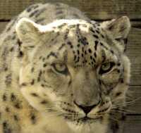 Snow Leopard, Calgary Zoo, Alberta CM11-27