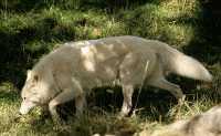 White Wolf, Calgary Zoo, Alberta CM11-16