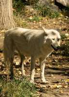 White Wolf, Calgary Zoo, Alberta CM11-18
