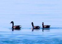 Canada Goose 02