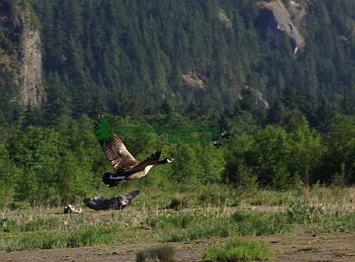 Canada Goose 03