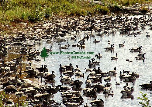 Alf Hole Goose Sanctuary and Interpretive Centre, Whiteshell Provincial Park, Manitoba, Canada 05
