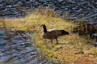 Canada Goose_ MX-001