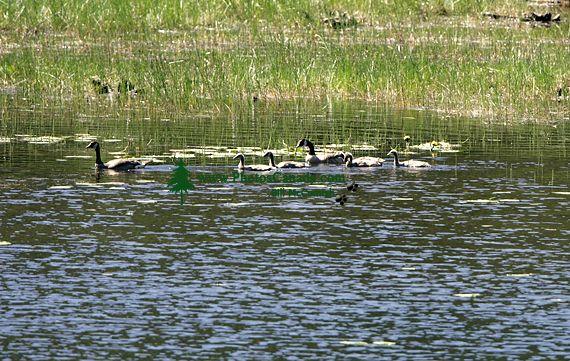 Geese Family, British Columbia CM11-06