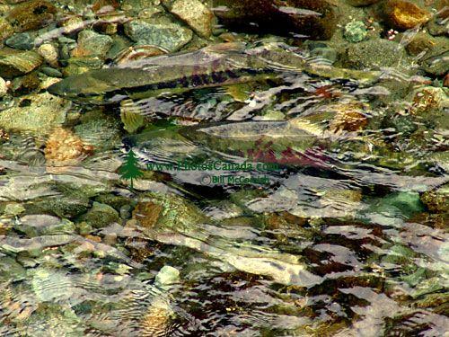 Spawning Salmon 05