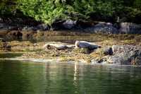 Harbour Seals, Haida Gwaii, Queen Charlotte Islands, British Columbia, Canada CM11-04