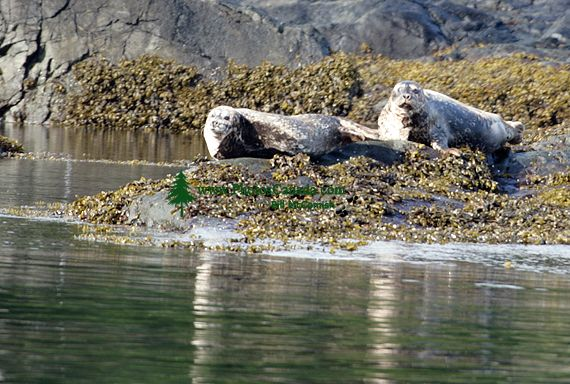 Harbour Seals, Haida Gwaii, Queen Charlotte Islands, British Columbia, Canada CM11-03