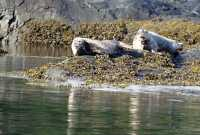 Harbour Seals, Haida Gwaii, Queen Charlotte Islands, British Columbia, Canada CM11-03