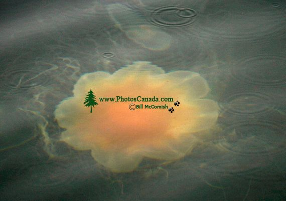 Lions Mane Jellyfish, Haida Gwaii, Queen Charlotte Islands, British Columbia, Canada CM11-02