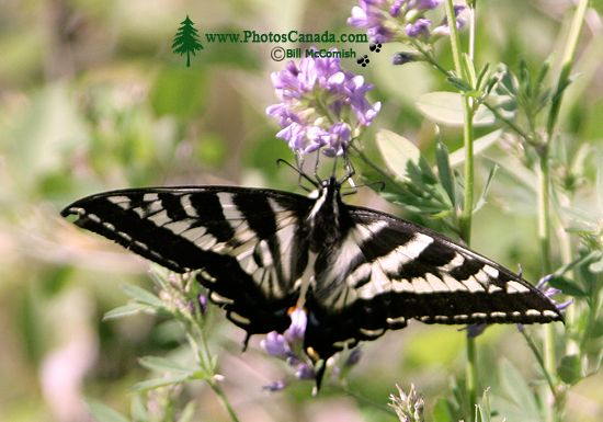 Butterfly, CM11-15