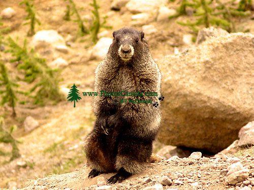 Hoary Marmot 08