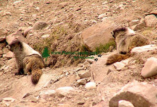 Hoary Marmot 07